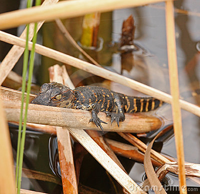 Free Baby Alligator In Everglades, Florida Stock Images - 21252004