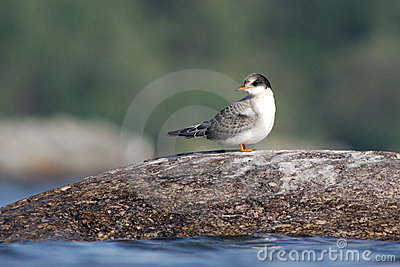 Baby Arctic Tern Stock Photo - Image: 21872110