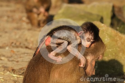 Baby baboon on the back of its mother