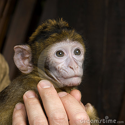 Baby Barbary Macaque - Macaca