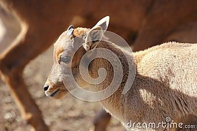 Baby Barbary Sheep, Aoudad