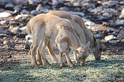 Baby Barbary Sheep, Aoudads