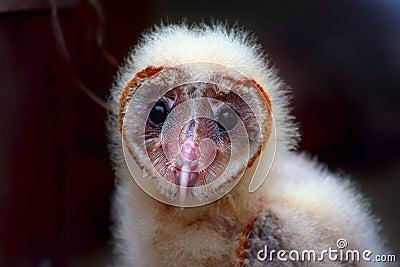 Baby Barn Owl Stare