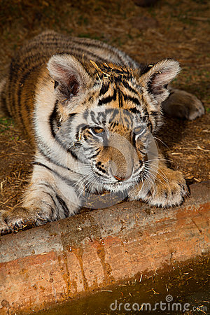 Baby Bengal Tiger at water s edge