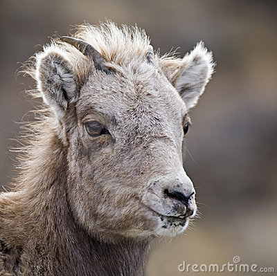 Baby Bighorn Sheep lamb close-up