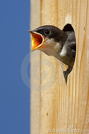 Free Baby Bird In A Bird House Royalty Free Stock Images - 9369439