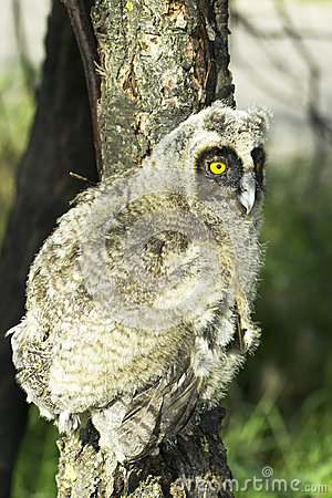 A baby bird of long-eared owl (Asio otus)