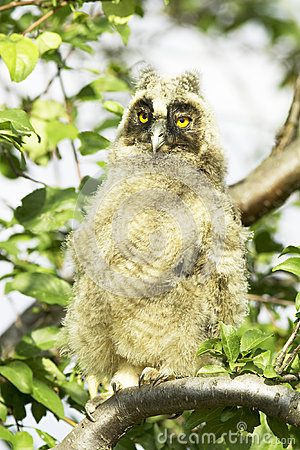 A baby bird of long-eared owl (Asio otus)
