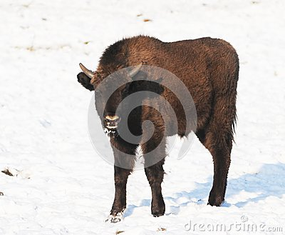 Baby bison standing in snow