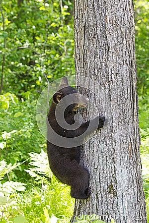 Free Baby Black Bear Cub Stock Photo - 85247150