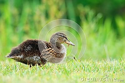 Baby black duck