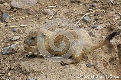 Baby Black-Tailed Prairie Dog (Cynomys ludovicianus)