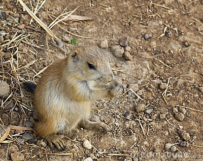 Baby Black-Tailed Prairie Dog (Cynomys ludovicianus) Nibbling