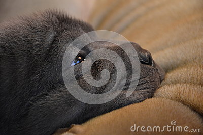 Baby blue sharpei puppy closeup