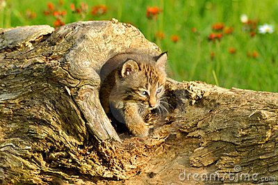 Baby bobcat coming out of a log
