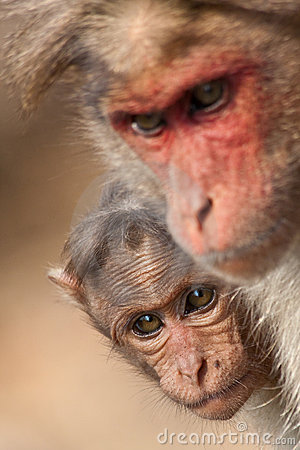 Baby Bonnet Macaque Hiding Behind Its Mother