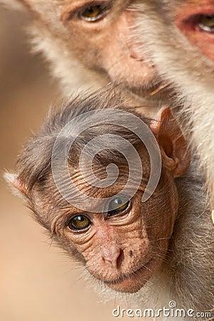 Baby Bonnet Macaque Peeking Between Its Parents
