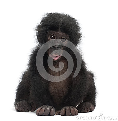 Free Baby Bonobo, Pan Paniscus, 4 Months Old, Sitting Stock Photos - 26644863