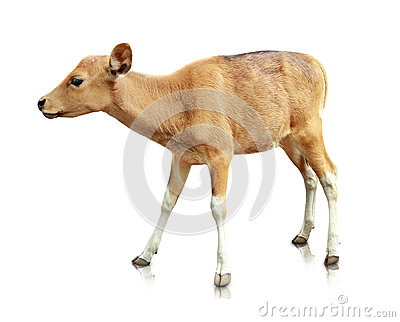 Baby brown banteng  on white background