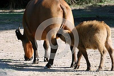 Baby buffalo drinking milk