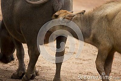Baby buffalo feeding