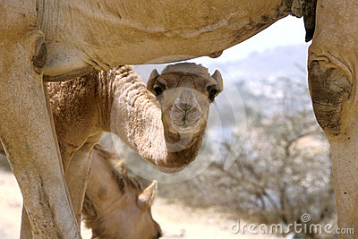 Baby Camel with Mother