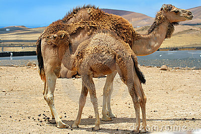 Baby camel near mother camel