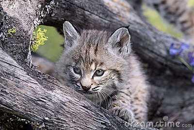 Baby Canadian Lynx
