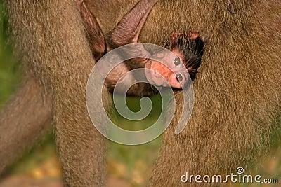 Baby Chacma Baboon, Kruger Park, South Af