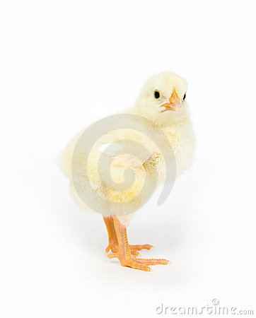 Baby chick standing up