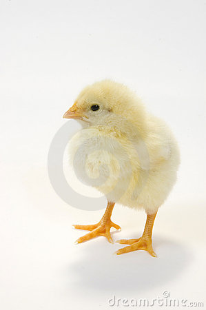 Baby chick on white background 6