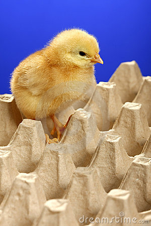 Baby chicken in egg carton