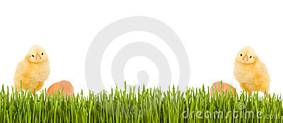 Baby chicken and grass spring banner