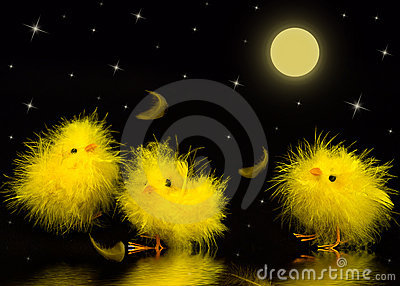 Baby Chicks - Night