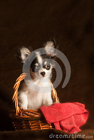 Baby chihuahua in a basket