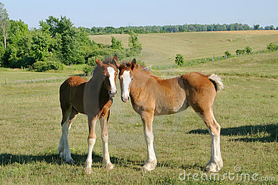 Baby Clydesdales