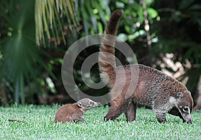 Baby Coati Following Mom