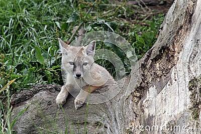 Baby corsac fox