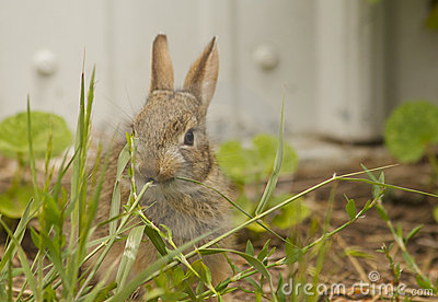 Baby Cottontail Eating Grass
