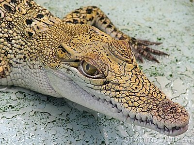 Baby Crocodile.