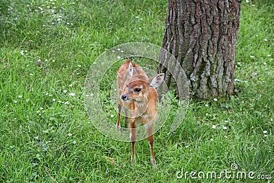 Baby Deer-Goat
