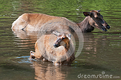 Baby deer in water
