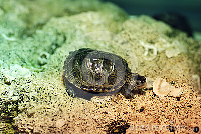 Baby Diamondback Turtle