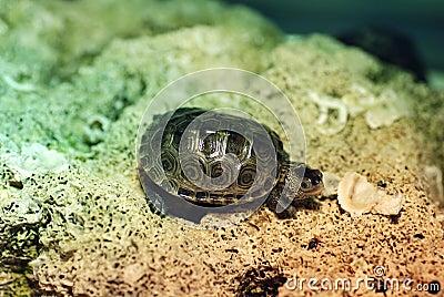 Baby diamondback turtle royalty free stock image image 24468546