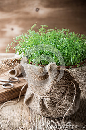 Free Baby Dill Sprouts In Pot, Mini Garden At Home Royalty Free Stock Photos - 75884188