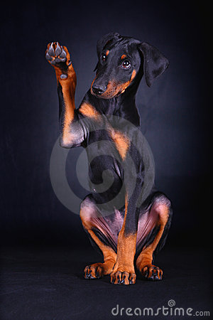 Free Baby Doberman Dog Royalty Free Stock Photo - 4700985