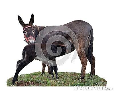 Baby donkey suckling