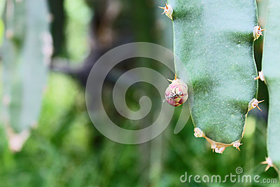 A Baby Dragon Fruit With An Ant On Top Stock Photo - Image ...