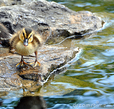 Baby duck on rock