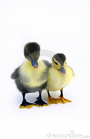 Free Baby Ducks Royalty Free Stock Photography - 1656247